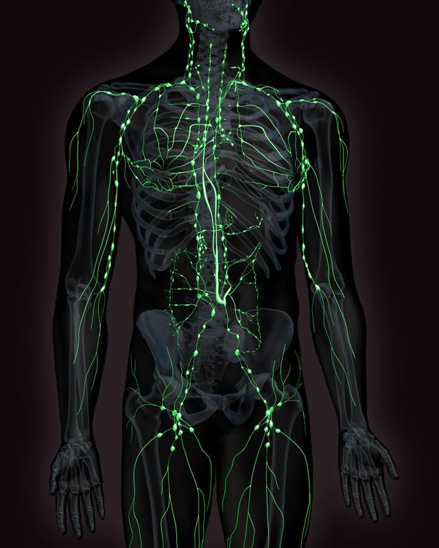 Réseau lymphatique Nœuds lymphatiques Brossage lymphatique
